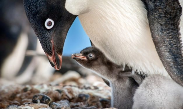 Moviegoers Who See Disneynature's 'Penguins' to Benefit Penguins Around the Globe!